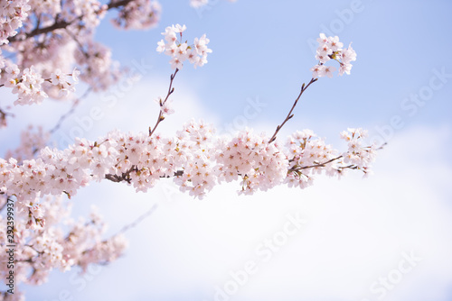 Fotobehang Kersenbloesem Cherry Blossom in spring with Soft focus, Sakura season in korea,Background