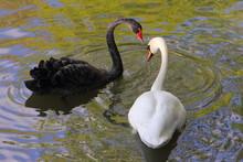 Beautiful Pair Of Swans White ...