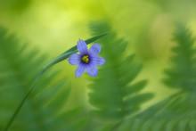 Blue-eyed Grass Flower With Gr...