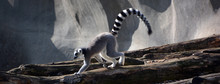 The Ring-tailed Lemur (Lemur C...