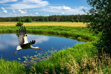 Stork Flying Over The Riverbed.