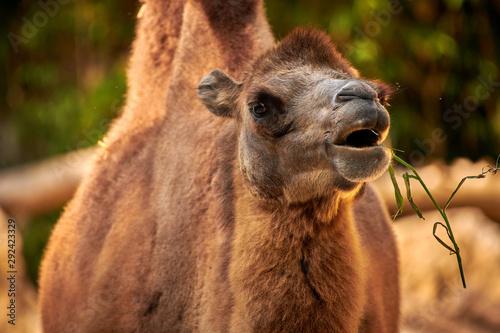 Keuken foto achterwand Kameel Bactrian camel (Camelus bactrianus)