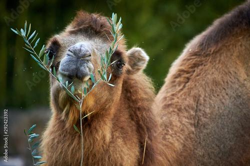 Spoed Foto op Canvas Kameel Bactrian camel (Camelus bactrianus)