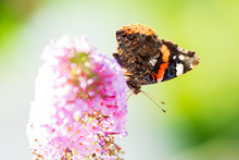 Red Admiral Butterfly, Vanessa Atalanta, Feeding Nectar From A Purple Butterfly-bush In Garden.