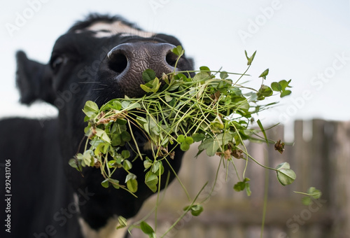 Cow eating white clover in the paddock. A black-and-white mammal. Fototapete