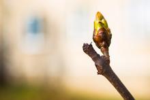 Turgid Swollen Bud On A Branch...