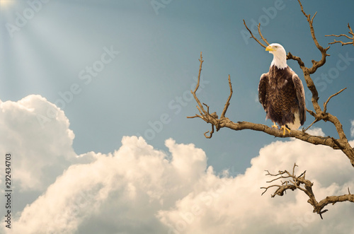 The mighty eagle closeup on tree branch during sunset and sun rays Wallpaper Mural