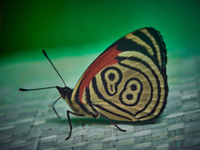 Eighty Eight Butterfly Close Up