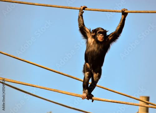 Photo the young chimpanzee is walking on ropes