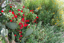 A Decorative Combination Various Wildflowers Including Mexican Sage And A Prickly Pear Cactus And Other Succulents In A Sunny California Summer Garden