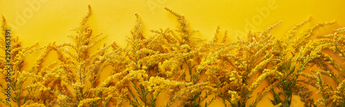 panoramic-shot-of-goldenrod-bunches-isolated-on-yellow