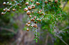 Tea Tree Plant With Seed Pods And Leaves