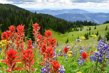 Indian Paintbrush And Lupin In...