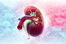 Human Kidney Anatomy On Medica...