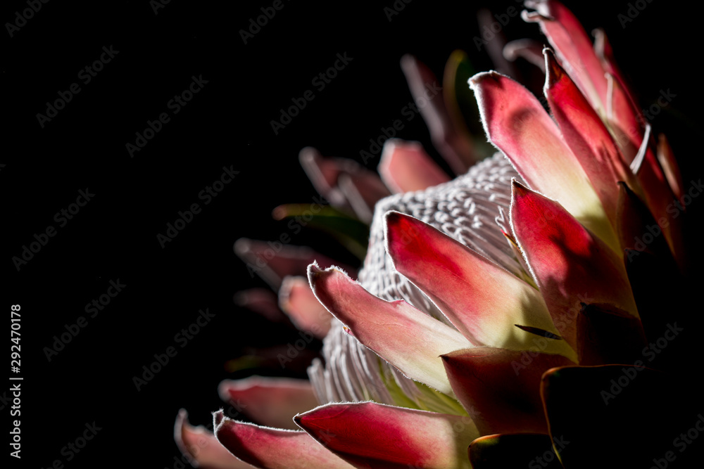 Fototapety, obrazy: Pink exotic King protea flower macro still detail of petals isolated on a solid black background