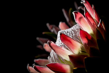 Pink Exotic King Protea Flower...