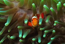 Orange Clownfish (Amphiprion Ocellaris) Hiding In The Green Anemone. Colorful Marine Life, Symbiotic Relationship. Underwater Macro Photography From Scuba Diving On The Coral Reef. Aquatic Wildlife.