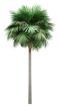 Sabal Palm Tree Isolated On Wh...