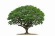 Leinwanddruck Bild - Tree isolated on white background .Tropical  Tree