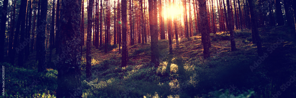 Fototapety, obrazy: Beautiful landscape, sunset in the dense pine forest, the beauty of northern nature
