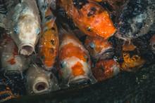 Japanese Koi Fish In Pond