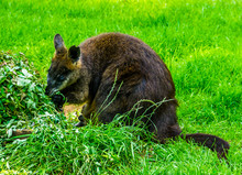 Swamp Wallaby Eating Plants In...