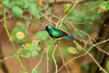 Male Variable Or Yellow-bellie...