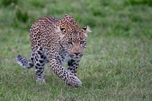 Leopard Walking In The Masai M...
