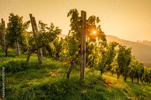 Fotomural  Sonnenstern am Morgen Sommer im Weinberg Landschaft