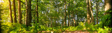 Panoramic Of A Woodland Forest...