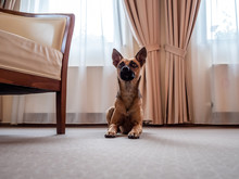 Small Brown Dog In Hotel Room.