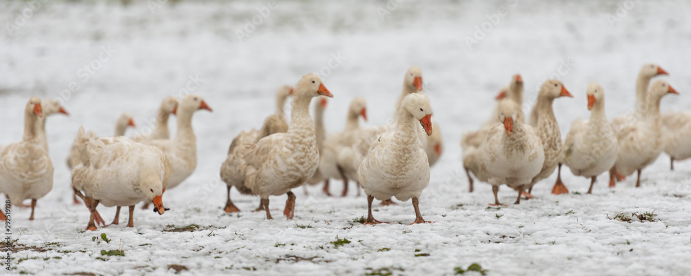 Fototapeta many white geese on a snovy meadow in winter