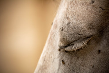 Close Up Of Closed Eye Of A White Horse Disturbed By Flies On Blurred Background. Copy Space