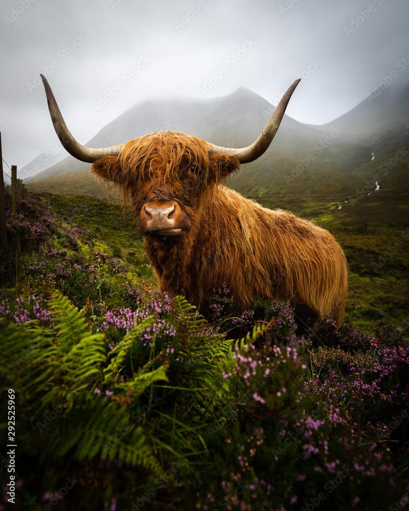 Fototapeta Scotland highlands cow
