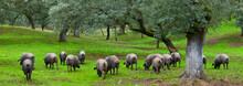 IBERIAN PIG, Sierra De Aracena Natural Park, Huelva, Andalucia, Spain, Europe