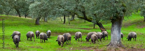 IBERIAN PIG, Sierra de Aracena Natural Park, Huelva, Andalucia, Spain, Europe Canvas Print
