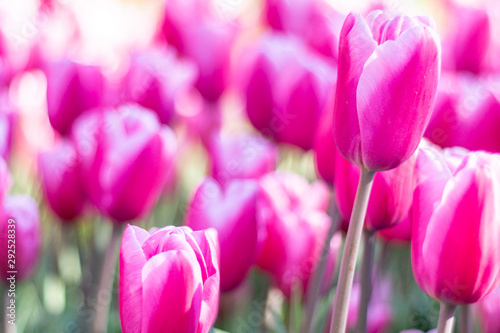 Papiers peints Rose Nature Colorful Tulips