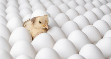 White Eggs And One Egg Hatches...