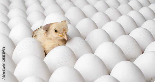 Valokuvatapetti white eggs and one egg hatches chicken
