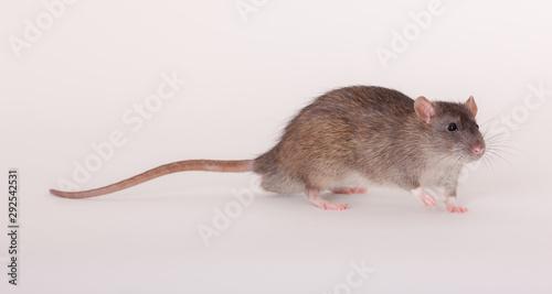 Fotografie, Obraz portrait of a brown domestic rat