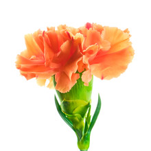Blooming Orange Carnation On White Background
