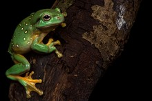 Magnificent Tree Frog (Litoria...