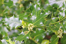 Holly Bush In Flower