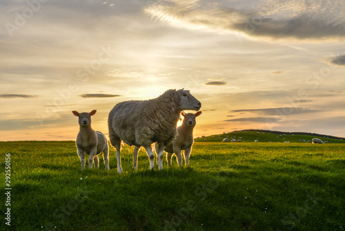 Tuinposter Schapen Sheep and lambs at sunset