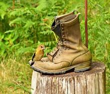 Evening Grosbeak Bird On Old Worn Out Boots