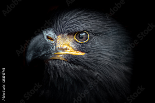 Photo  White-tailed eagle