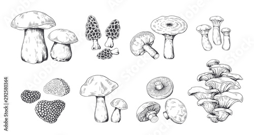 Fototapeta Hand drawn mushrooms. Vintage sketch of porcini portobello fungus morel truffle and oyster mushrooms. Vector illustration isolated doodle engraved variety raw fungus set on white background obraz