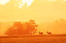 Males Hog Deer Relaxing In The Grassland At Sunrise.