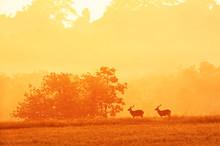 Males Hog Deer Relaxing In The...