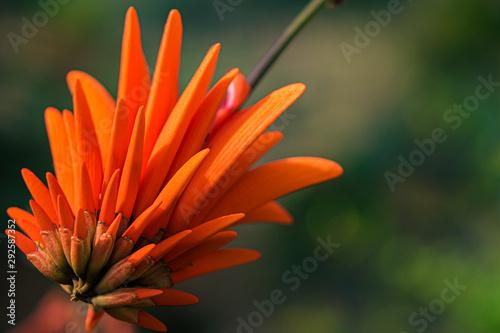 Photo  Coral Tree Blossom
